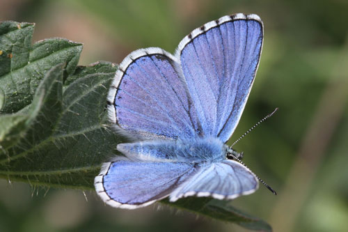 Photo: bellargus