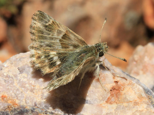 Photo: stauderi