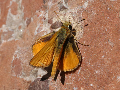 Photo: aurantiaca